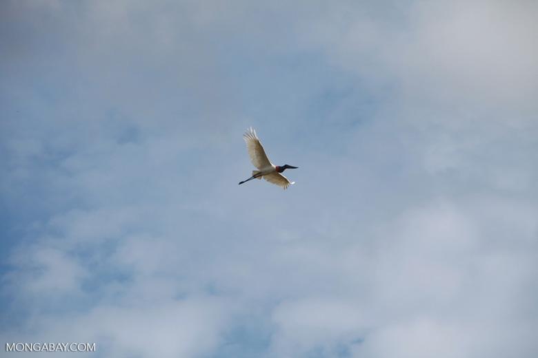 Jabiru stork (Jabiru mycteria) in flight