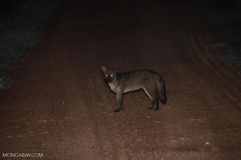 Common Fox (Cerdocyon thous)