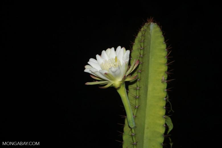 Night-blooming cactus flower