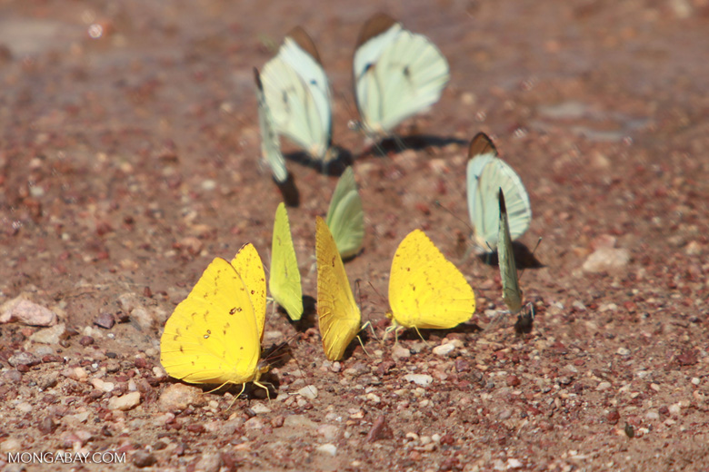 Yellow and light green butterflies