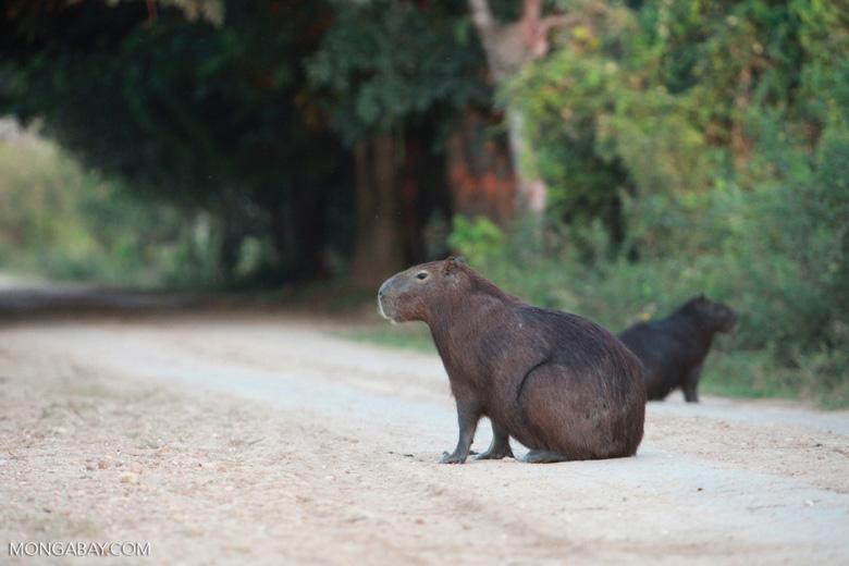 Capybaras [brazil_1621]