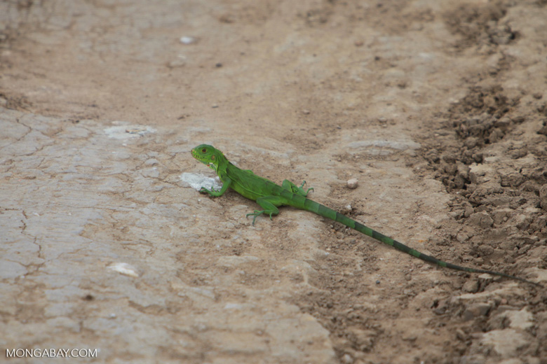 Common green iguana [brazil_1777]