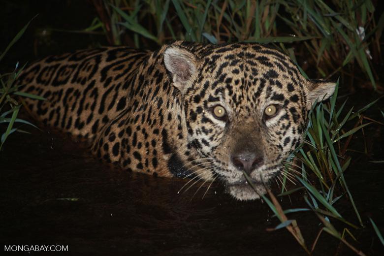 Jaguar emerging from the Pantanal