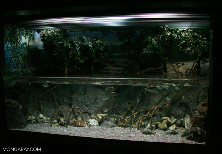 Brackish water biotope tank with Archerfish and scats