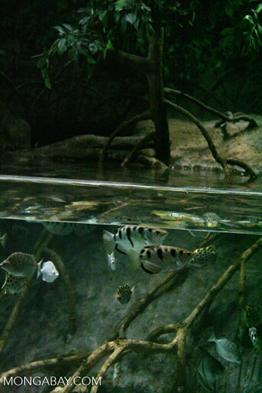 Archer Fish Aquarium | Archer Fish Toxotes Jaculatrix In A Biotope Tank At Shanghai S