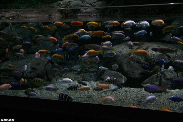 Lake Malawi mbuna cichlid biotope tank