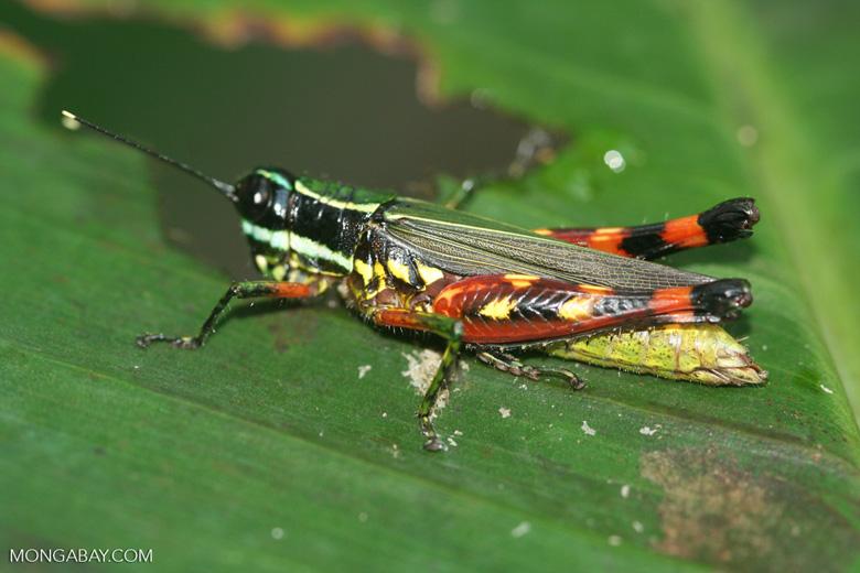 U.s. Grasshoppers Multicolored grasshopp...