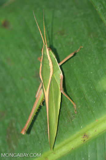 Green and yellow grasshopper (Prionolopha serrata)