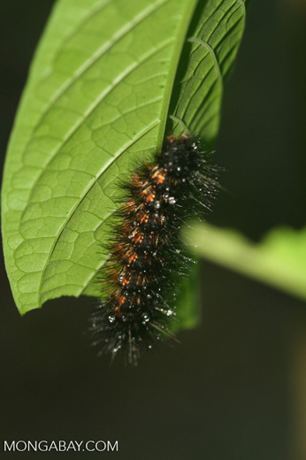Black spiny caterpillar