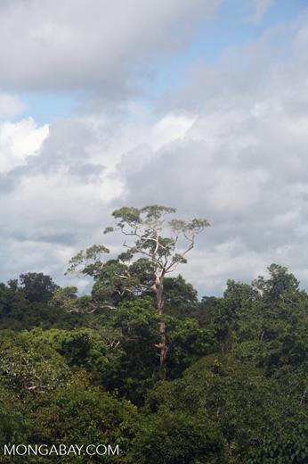 Emergent tree rising above the Amazon rainforest canopy