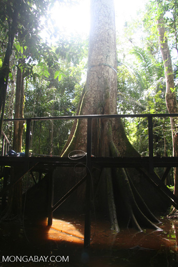 Canopy access platform in the flooded sw& forest of the Colombian Amazon & access platform in the flooded swamp forest of the Colombian Amazon