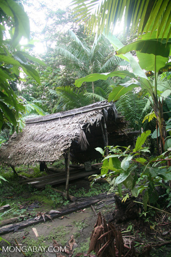 Hut in an Amerindian communal garden