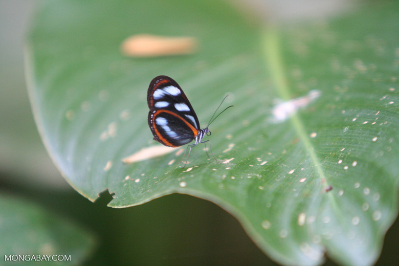 Black, orange, and light blue butterfly, possibly Ithomia pellucida or the
