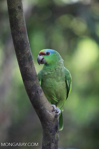 Festive Amazon Parrot (Amazona festiva)