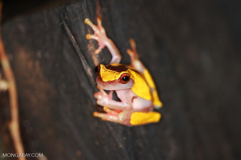 Clown tree frog (Dendropsophus leucophyllatus)