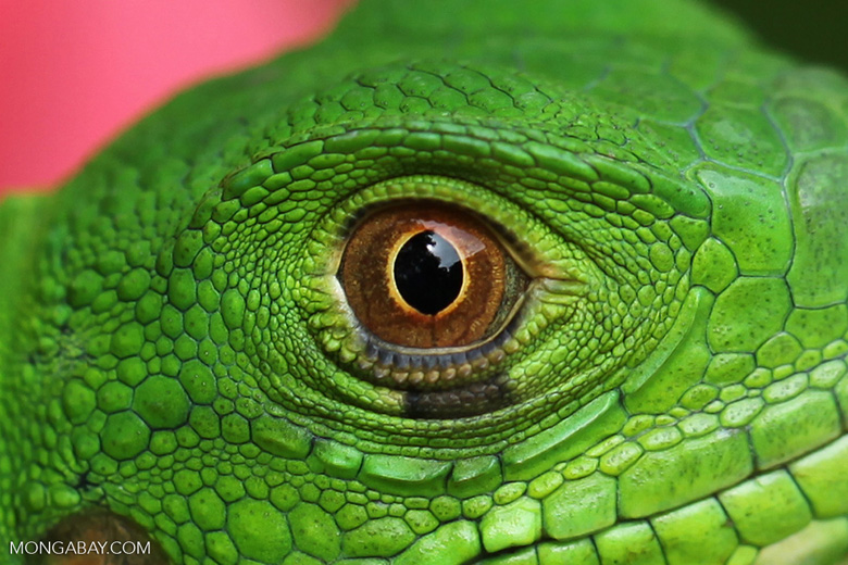 Headshot of a green iguana (Iguana iguana)