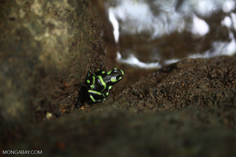 Green poison arrow frog