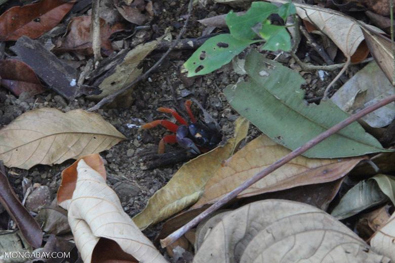 Red land crab