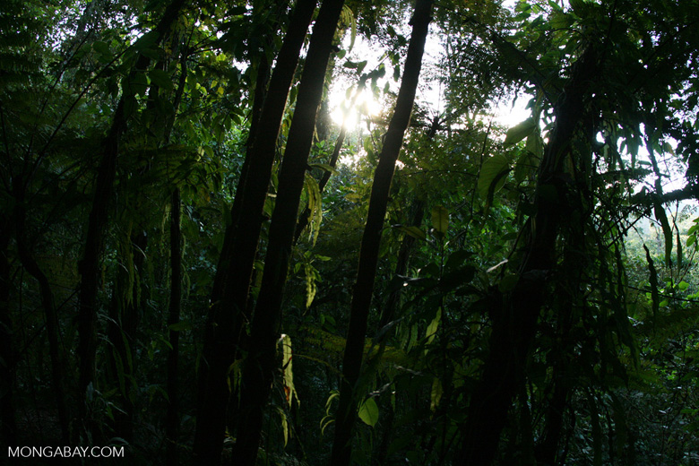 Fern grove in the Costa Rican rainforest [costa_rica_4634]