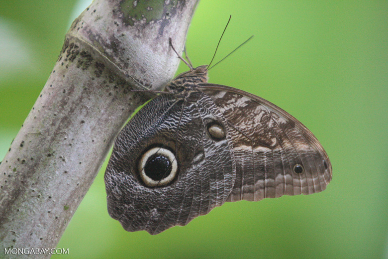 Caligo sp or Owl Butterfly with its wings closed