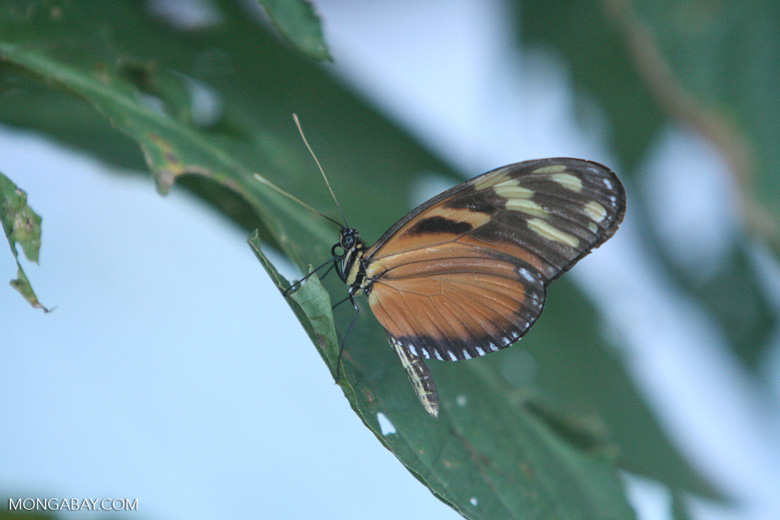 Isabella's Tiger (Eueides isabella) in the Costa Rican forest