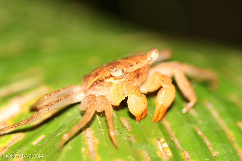 Rainforest Canopy Crab Costa Rica 5523