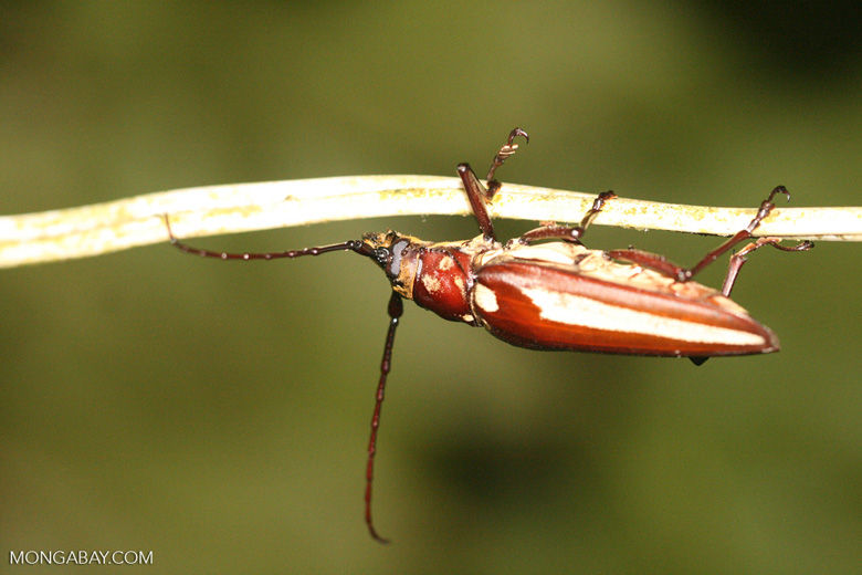 Red horned beetles - photo#14