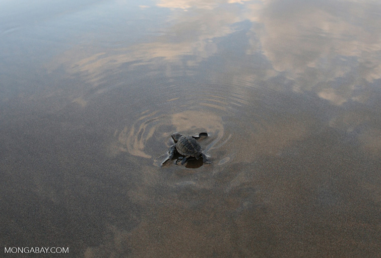 Baby Olive ridley sea turtle headed out to sea [costa_rica_5721b]