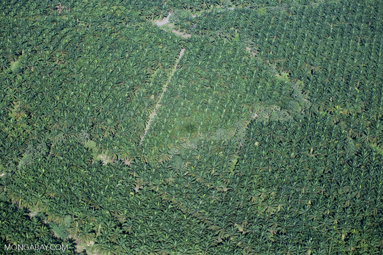 Airplane view of oil palm plantations