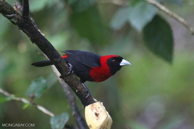 Crimson-collared Tanager (Phlogothraupis sanguinolenta)