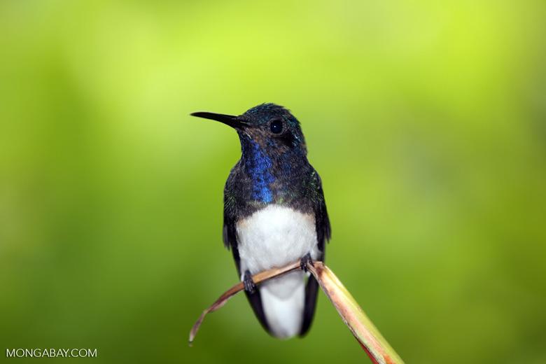 Hummingbird [costa_rica_la_selva_0269]