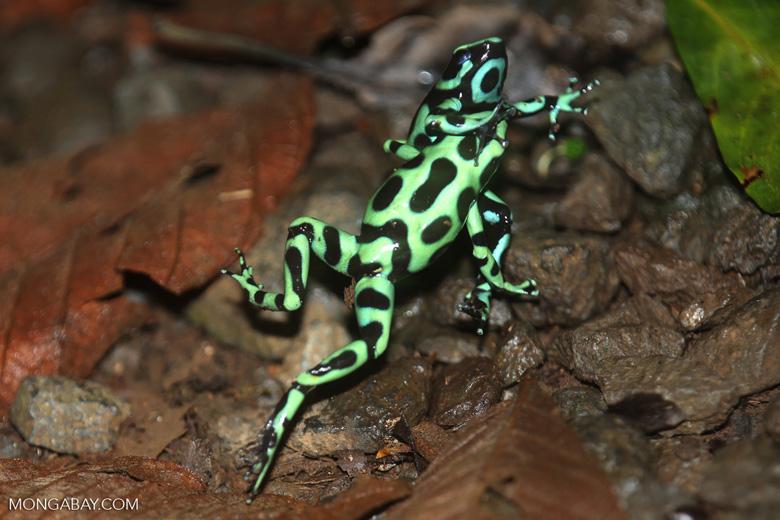 Green-and-black poison dart frogs fighting [costa_rica_la_selva_0978]