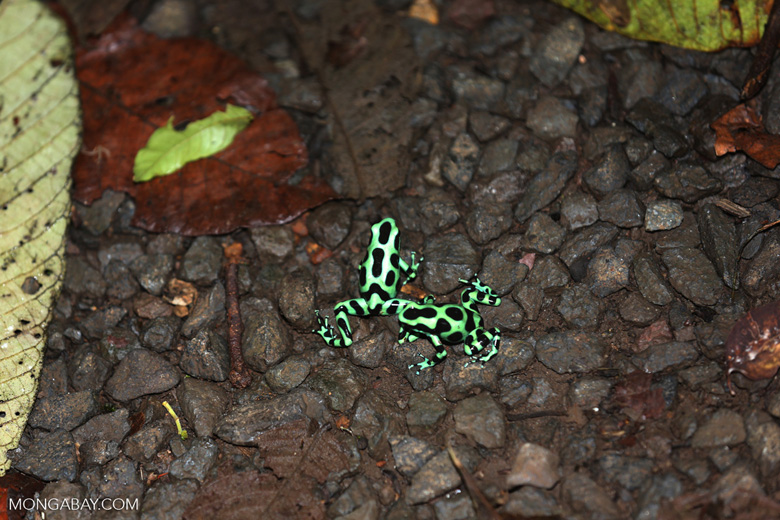 Green-and-black poison dart frogs fighting [costa_rica_la_selva_1076]