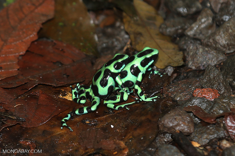 Green-and-black poison dart frogs fighting [costa_rica_la_selva_1109]