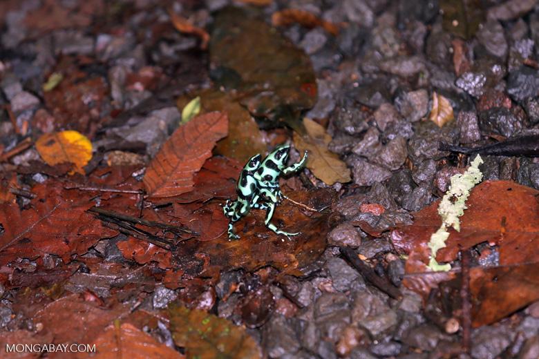 Green-and-black poison dart frogs fighting [costa_rica_la_selva_1111]