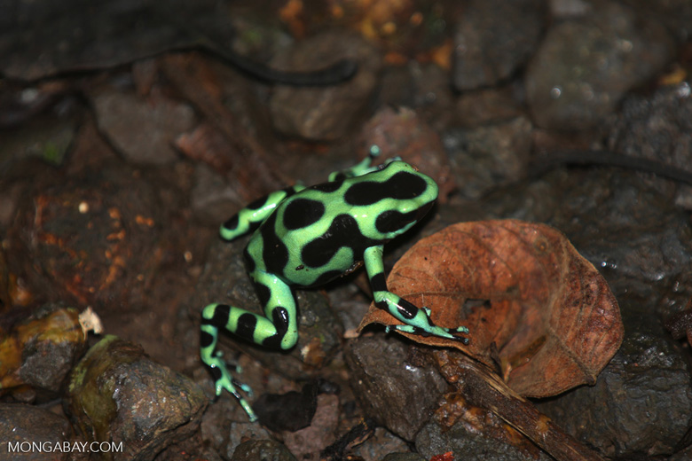 Green-and-black poison dart frogs fighting [costa_rica_la_selva_1155]