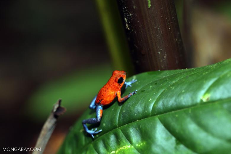 Strawberry poison-dart frog (Oophaga pumilio) [costa_rica_la_selva_1293]