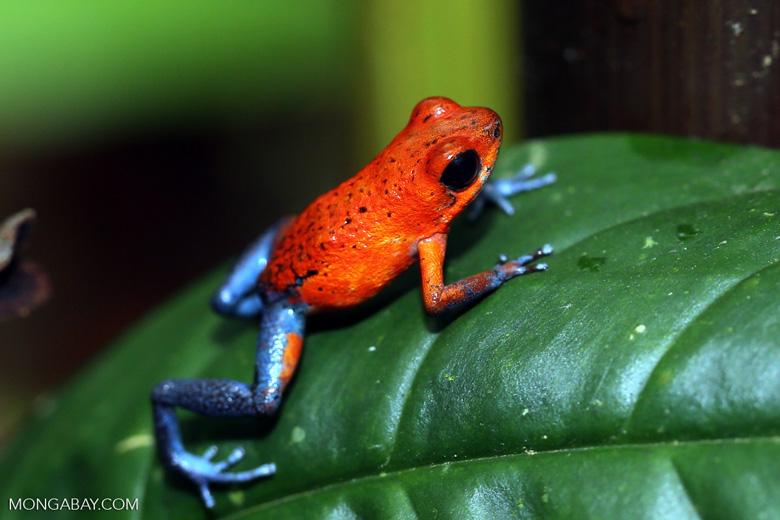 Strawberry poison-dart frog (Oophaga pumilio) [costa_rica_la_selva_1294]