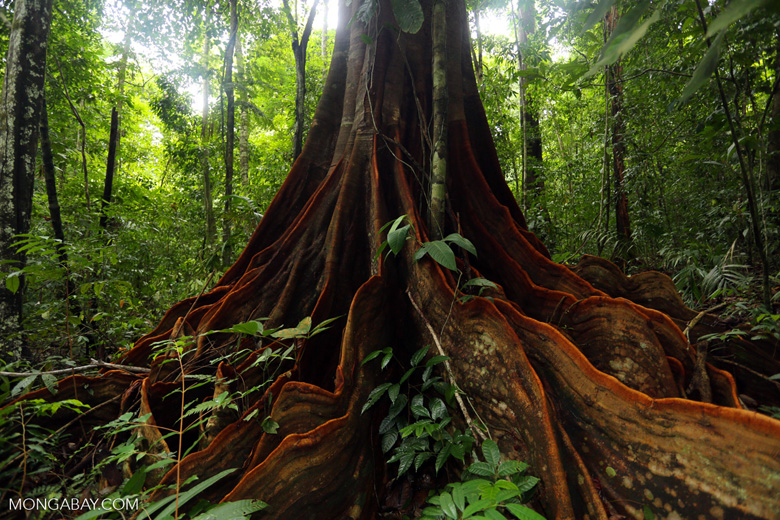 Osa rainforest tree