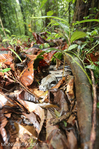Boa constrictor camouflaged among leaves on the forest floor