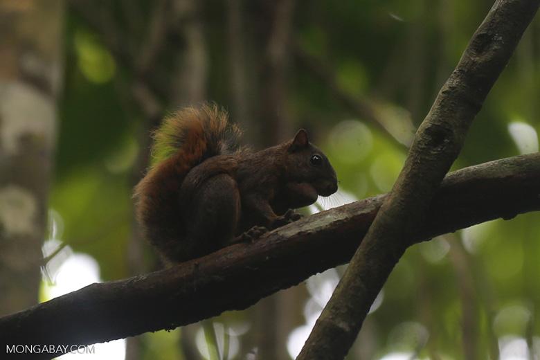 Squirrel [costa_rica_osa_0465]