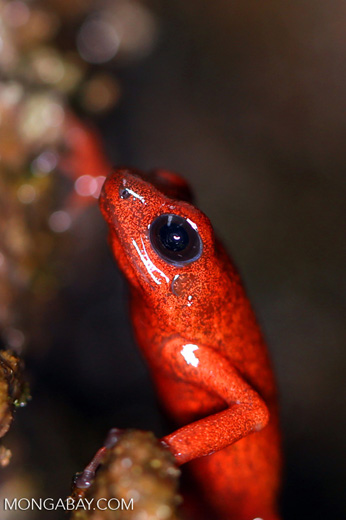 Strawberry dart frog [costa_rica_siquirres_0511]