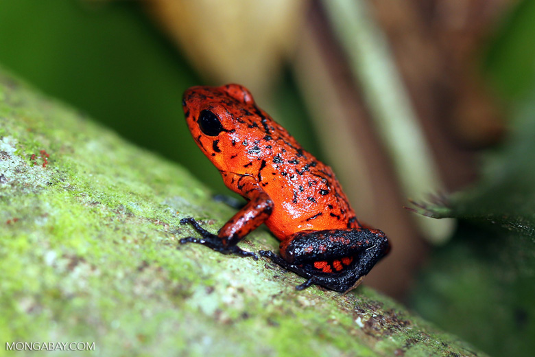 Strawberry dart frog [costa_rica_siquirres_0715]
