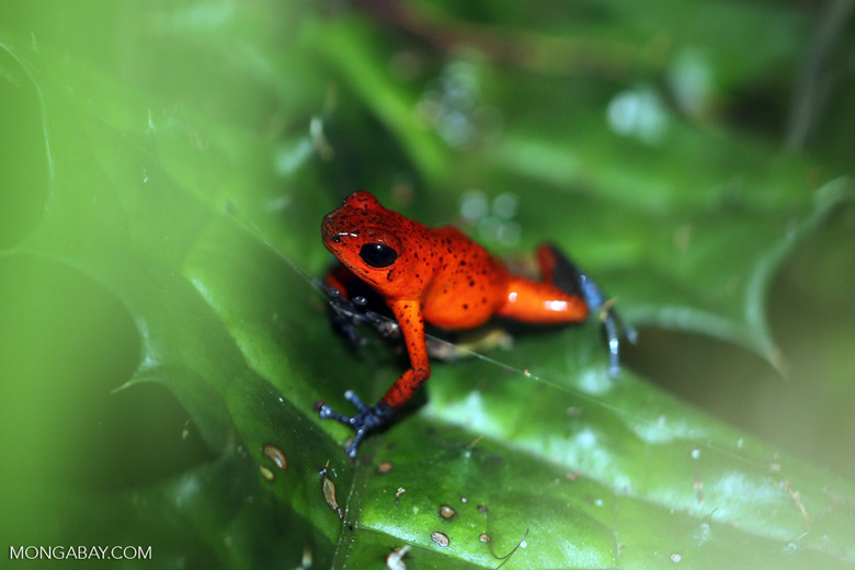 Strawberry dart frog [costa_rica_siquirres_0783]
