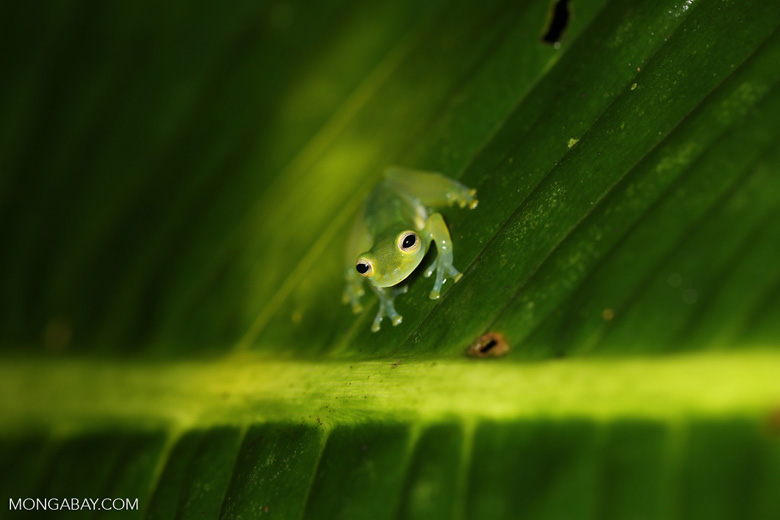 Glass frog [costa_rica_siquirres_0911]