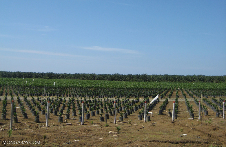 Oil palm nursery [costarica-129]
