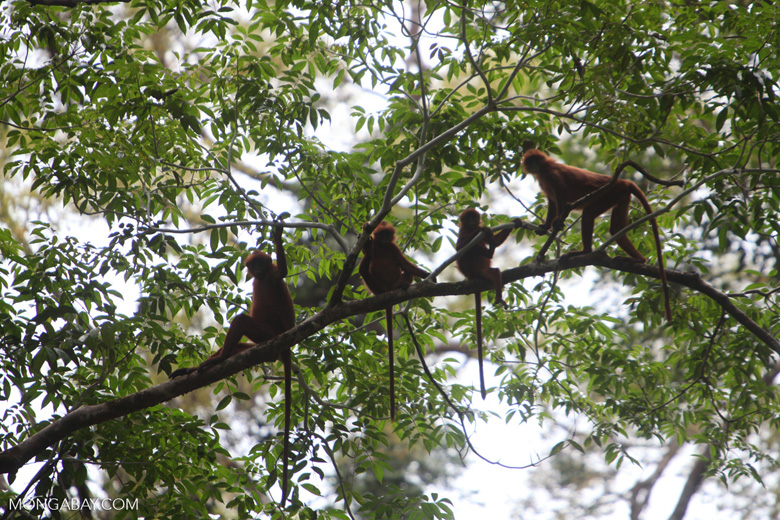 Group of Maroon Leaf Monkeys in the rain forest canopy & of Maroon Leaf Monkeys in the rain forest canopy