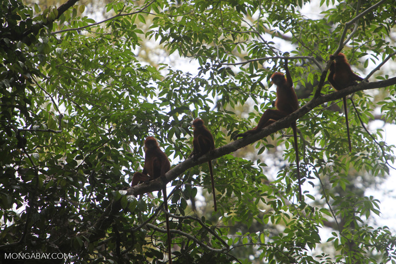 Red Leaf Monkeys in the rain forest canopy & Leaf Monkeys in the rain forest canopy