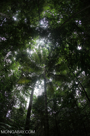 Palm tree in the rainforest of Indonesian Borneo