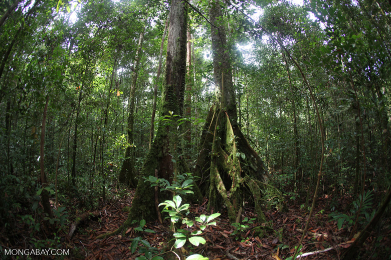 Rainforest in West Kalimantan [kalbar_1017]